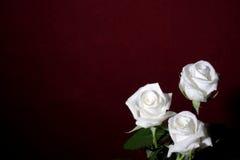 τριαντάφυλλα τρία λευκό Στοκ εικόνα με δικαίωμα ελεύθερης χρήσης