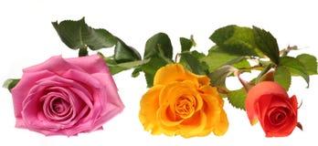 τριαντάφυλλα τρία Στοκ εικόνες με δικαίωμα ελεύθερης χρήσης