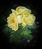 τριαντάφυλλα φθινοπώρου Στοκ Φωτογραφίες
