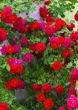 τριαντάφυλλα όμορφα κόκκινα κόκκινα τριαντάφυλλα του ροδαλού Μπους Ανθοδέσμη των κόκκινων τριαντάφυλλων Στοκ Εικόνα
