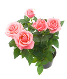 τριαντάφυλλα δεσμών Στοκ Εικόνα
