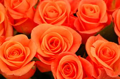τριαντάφυλλα στοκ εικόνες με δικαίωμα ελεύθερης χρήσης