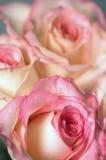 τριαντάφυλλα Στοκ Εικόνα