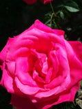 Τριαντάφυλλα aren& x27 τ για πάντα στοκ εικόνες