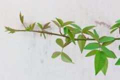 Τριαντάφυλλα, άμπελοι και φύλλα πάνω από το πράσινο υπόβαθρο με τον άσπρο τοίχο στοκ εικόνα