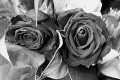 Τριαντάφυλλα γραπτά Στοκ Φωτογραφία