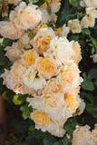 Τριαντάφυλλα θάμνων Στοκ Εικόνες