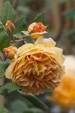 τριαντάφυλλα κήπων Στοκ Εικόνες