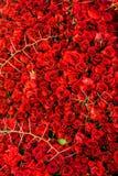 Τριαντάφυλλα και αγκάθια Στοκ φωτογραφία με δικαίωμα ελεύθερης χρήσης