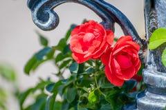 Τριαντάφυλλα και επεξεργασμένος σίδηρος Στοκ φωτογραφίες με δικαίωμα ελεύθερης χρήσης