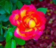 τριαντάφυλλα κόκκινα τριαντάφυλλα Κλείστε επάνω στα κόκκινα τριαντάφυλλα Στοκ Εικόνες