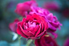 Τριαντάφυλλα μεταλλικού θόρυβου στον κήπο στοκ εικόνες