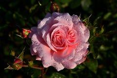 Τριαντάφυλλα με τις πτώσεις νερού Στοκ εικόνα με δικαίωμα ελεύθερης χρήσης