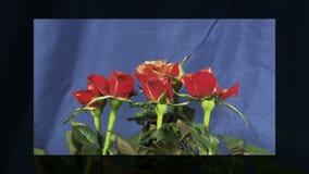 Τριαντάφυλλα που ανθίζουν απόθεμα βίντεο