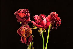 τριαντάφυλλα που μαραίν&omicron Στοκ εικόνα με δικαίωμα ελεύθερης χρήσης