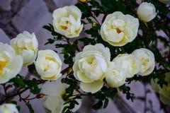 Τριαντάφυλλα σε ένα υπόβαθρο τούβλου Στοκ φωτογραφία με δικαίωμα ελεύθερης χρήσης