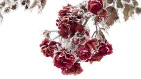 Τριαντάφυλλα σε Hoarfrost απόθεμα βίντεο