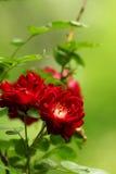 Τριαντάφυλλα στην άνθιση Στοκ Εικόνες