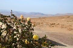 Τριαντάφυλλα στην έρημο Στοκ εικόνα με δικαίωμα ελεύθερης χρήσης