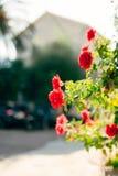 Τριαντάφυλλα στην οδό Τα ρόδινα και κόκκινα τριαντάφυλλα αυξάνονται στις οδούς του Μ Στοκ Εικόνες