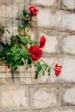 Τριαντάφυλλα στην οδό Τα ρόδινα και κόκκινα τριαντάφυλλα αυξάνονται στις οδούς του Μ Στοκ φωτογραφίες με δικαίωμα ελεύθερης χρήσης
