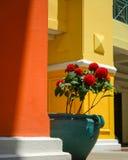 Τριαντάφυλλα στον πράσινο δευτερεύοντα κόκκινο και κίτρινο τοίχο δοχείων στοκ φωτογραφία