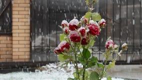 Τριαντάφυλλα στο χιόνι απόθεμα βίντεο