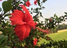 τριαντάφυλλα της Κίνας στοκ εικόνες
