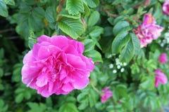 Τριαντάφυλλα της Apple στο άνθος στο hitra νησιών (Νορβηγία) Στοκ Εικόνες