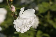 Τριαντάφυλλα του Μπους Στοκ εικόνα με δικαίωμα ελεύθερης χρήσης