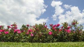 Τριαντάφυλλα το καλοκαίρι στοκ φωτογραφίες με δικαίωμα ελεύθερης χρήσης