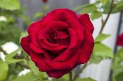 Τριαντάφυλλα, τριαντάφυλλα συμβόλων αγάπης, κόκκινα τριαντάφυλλα για την ημέρα εραστών, φυσικά τριαντάφυλλα στον κήπο, τριαντάφυλ Στοκ Φωτογραφίες
