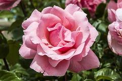 Τριαντάφυλλα, τριαντάφυλλα συμβόλων αγάπης, ρόδινα τριαντάφυλλα για την ημέρα εραστών, φυσικά τριαντάφυλλα στον κήπο Στοκ εικόνα με δικαίωμα ελεύθερης χρήσης