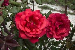 Τριαντάφυλλα, τριαντάφυλλα συμβόλων αγάπης, ρόδινα τριαντάφυλλα για την ημέρα εραστών, φυσικά τριαντάφυλλα στον κήπο Στοκ Εικόνα