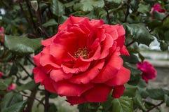 Τριαντάφυλλα, τριαντάφυλλα συμβόλων αγάπης, ρόδινα τριαντάφυλλα για την ημέρα εραστών, φυσικά τριαντάφυλλα στον κήπο Στοκ Φωτογραφία