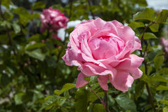 Τριαντάφυλλα, τριαντάφυλλα συμβόλων αγάπης, ρόδινα τριαντάφυλλα για την ημέρα εραστών, φυσικά τριαντάφυλλα στον κήπο Στοκ Φωτογραφίες