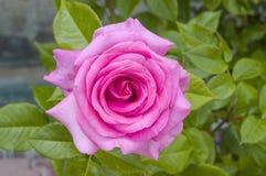 Τριαντάφυλλα, τριαντάφυλλα συμβόλων αγάπης, ρόδινα τριαντάφυλλα για την ημέρα εραστών, φυσικά τριαντάφυλλα στον κήπο Στοκ Εικόνες