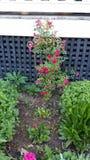 Τριαντάφυλλα τσαγιού Στοκ φωτογραφίες με δικαίωμα ελεύθερης χρήσης