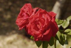 τριαντάφυλλα δύο Στοκ φωτογραφίες με δικαίωμα ελεύθερης χρήσης