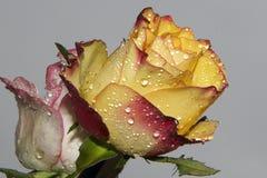τριαντάφυλλα δύο στοκ εικόνες