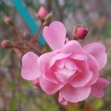 2 τριαντάφυλλα Στοκ φωτογραφία με δικαίωμα ελεύθερης χρήσης