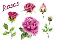 Τριαντάφυλλα Watercolor, ρόδινα χρωματισμένα χέρι λουλούδια Στοκ Φωτογραφίες