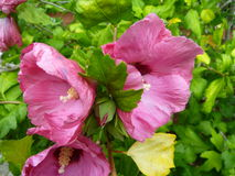 Τριπλά ρόδινα άνθη Στοκ Εικόνα