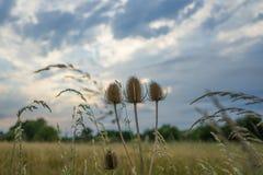 Τριπλός κάρδος Στοκ φωτογραφίες με δικαίωμα ελεύθερης χρήσης