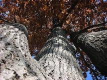 Τριπλό δρύινο δέντρο αποτελέσματος φθινοπώρου στοκ εικόνες