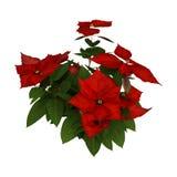 τρισδιάστατες εγκαταστάσεις Poinsettia Χριστουγέννων απόδοσης στο λευκό στοκ φωτογραφία με δικαίωμα ελεύθερης χρήσης