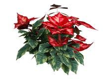 τρισδιάστατες εγκαταστάσεις Poinsettia Χριστουγέννων απόδοσης στο λευκό στοκ εικόνες