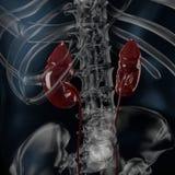 τρισδιάστατη απεικόνιση της ακτίνας X νεφρών διανυσματική απεικόνιση