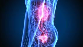 τρισδιάστατη απεικόνιση της ανατομίας νεφρών ανθρώπινων σωμάτων φιλμ μικρού μήκους