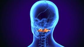 τρισδιάστατη απεικόνιση της αυχενικής ανατομίας σπονδύλων ανθρώπινων σωμάτων απεικόνιση αποθεμάτων